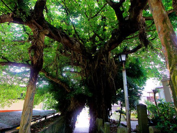 13.あこう樹(奈良尾神社)